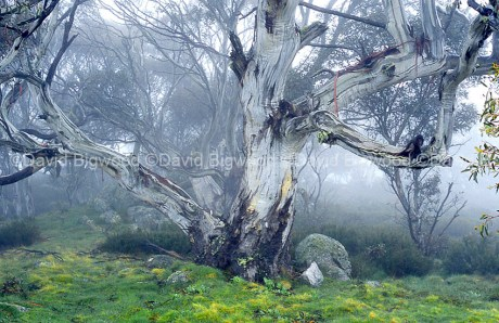 Australia: Snow Gums in mist, Snowy Mountains, NSW
