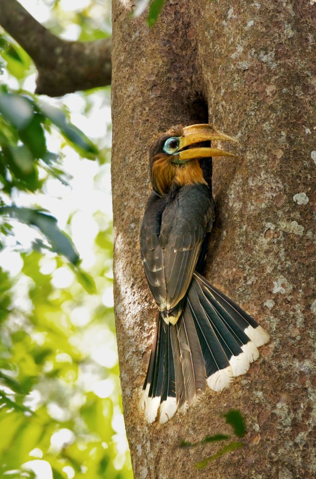 Brown Hornbill attending its nest hole Thailand