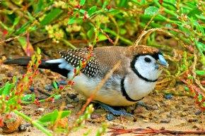 Double-barred Finch Australia