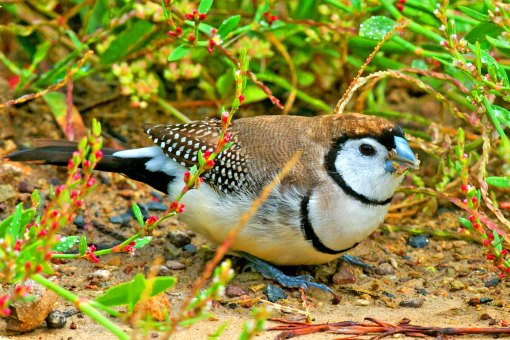 Double-barred Finch Australia