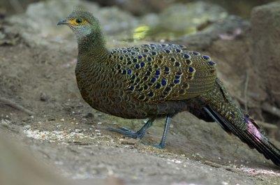 Gray Peacock Pheasant Thailand