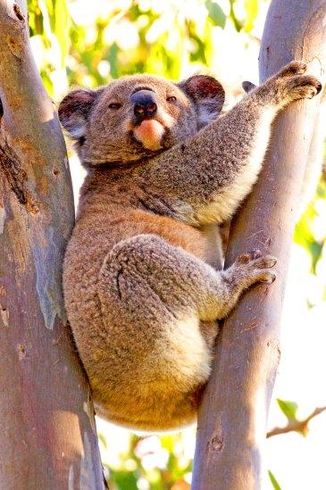 Koala Australia