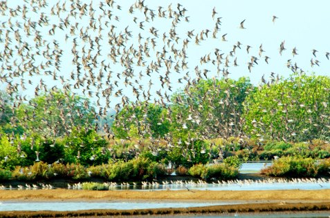 Masses of migrant shorebirds erupting Thailand