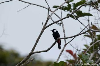 Mountain Peltops - New Guinea