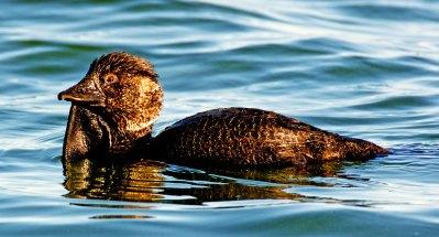 Male Musk Duck Australia