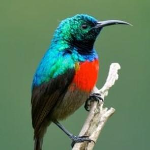 Northern Double-collared Sunbird - Uganda