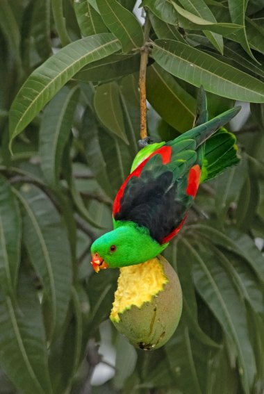 Red Winged Parrot Australia