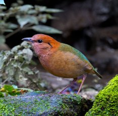 Rufous-naped Pitta Thailand