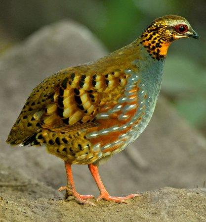 Rufous-throated Partridge Thailand