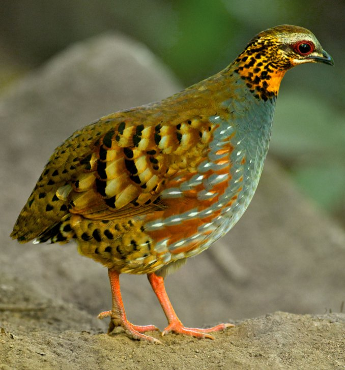 Rufous-throated Partridge Thailand