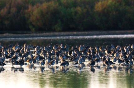 Shorebirds Massing at Dawn Thailand