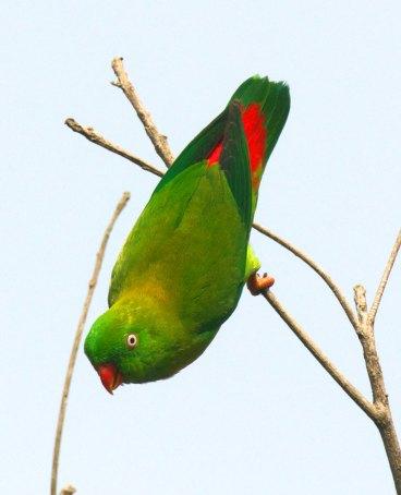 Vernal Hanging Parrot Thailand
