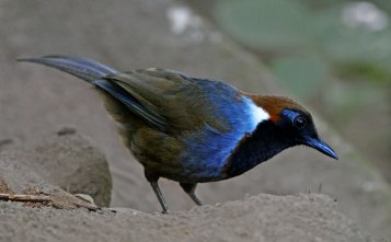 White-necked Laughing Thrush Thailand