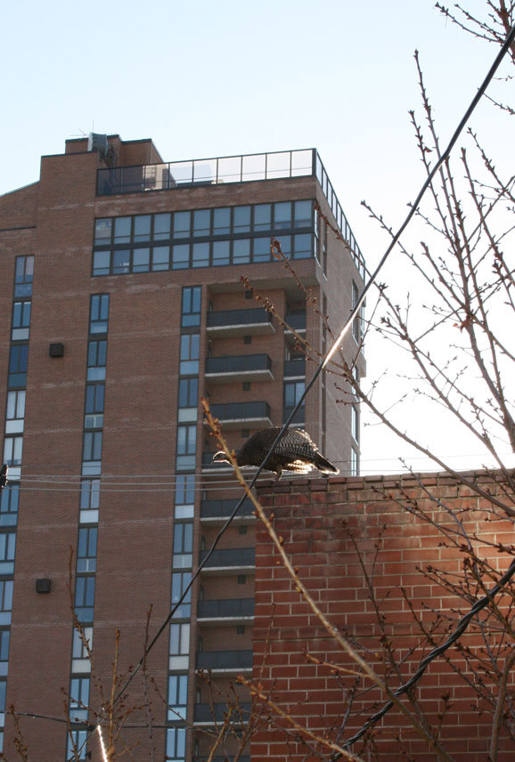 One of the three turkeys perched on the corner of our carriage house in Denver.