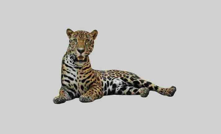 Jaguars coleção imagens transparentes PNG