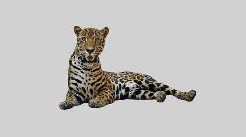 Jaguars PNG