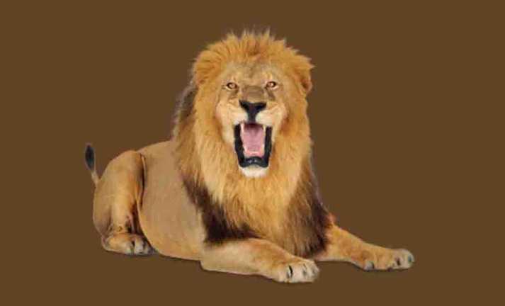 Leões coleção imagens transparentes PNG