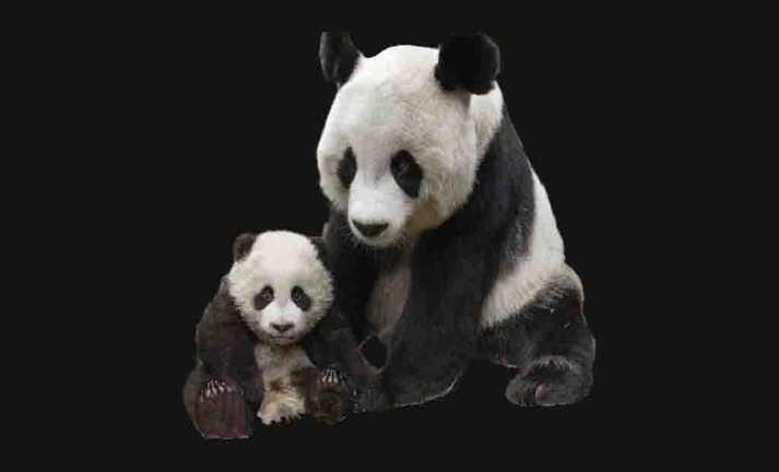 Pandas coleção imagens transparentes PNG