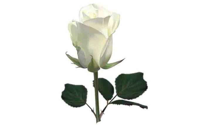 Rosas brancas coleção imagens transparentes PNG