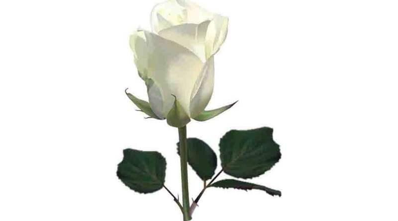 Rosa Branca PNG