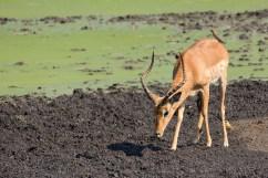 07 Antilopi, Zebre, Giraffe061