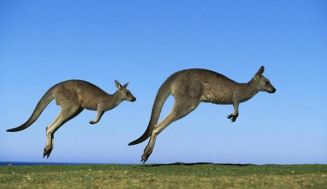 croiser des kangourous sauvages