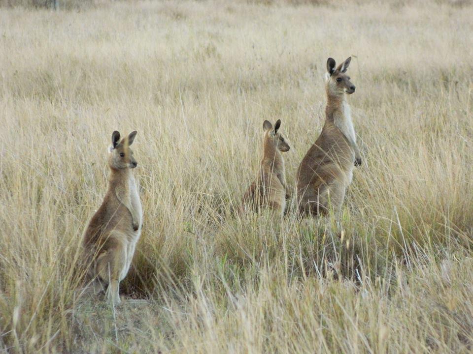 laura kangourou