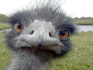 croiser emeus sauvages australie