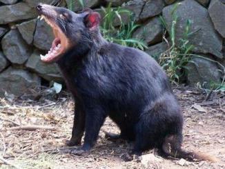 croiser des diables de tasmanie