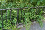 Ancient Railings and Weeds