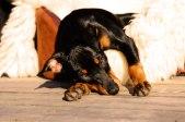 dwarf pinscher british toy terrier lying in the sun © David Hamilton Melby