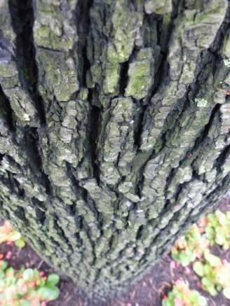 2014-07-16-callery-pear-bark