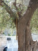 olive-tree-next-to-damascus-gate