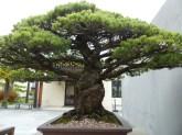 yamaki-pine-in-washington-dc-5