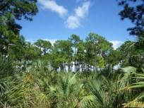 Pine savanna fragment, Tropical Park, Miami, Florida