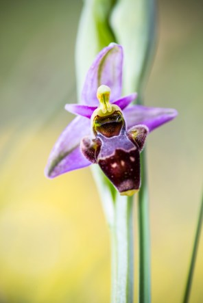 Ophrys scolapax
