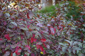 David Moulton Toronto Psychotherapist | Picture of Bush with Red Leaves