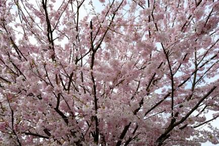 davidniddrie_vancouver_cherryblossoms-2837