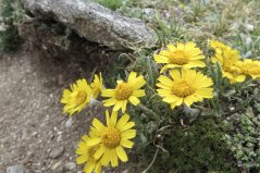 Alpine sunflowers. Their 3-toothed rays can be clearly seen in this picture.