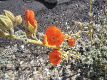 Apricot mallow or Desert mallow or globemallow (Sphaeralcea ambigua)