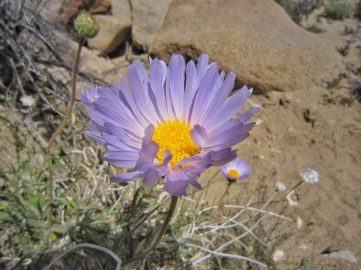 Mojave aster (Xylorhiza tortifolia)