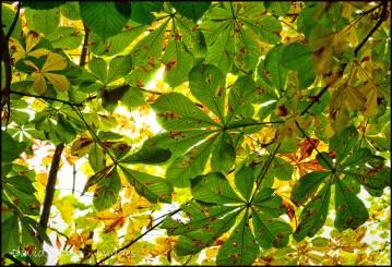 Horsechestnut leaves