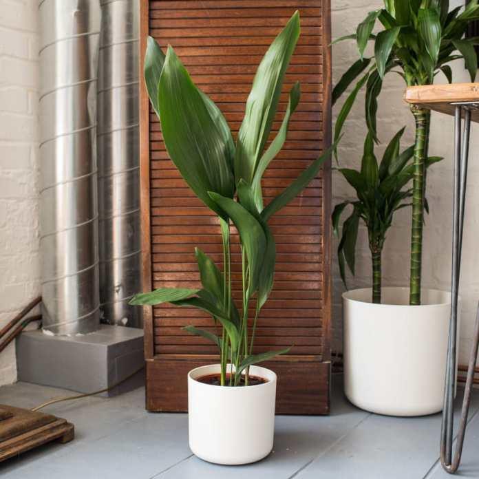 Aspidistra Elatior flowerless ornamental plants
