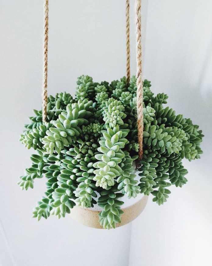 Morganianum Sedum Hanging Ornamental Plants