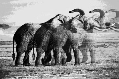black-and-white-fading-elephant