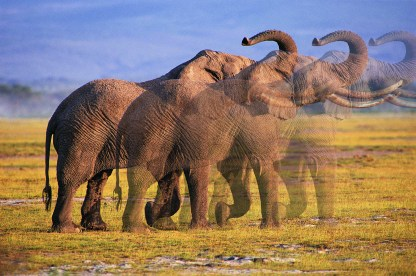 fading-elephant