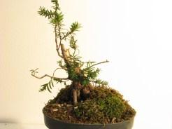 El invierno siguiente se volvió a podar dejando solo las ramas necesarias. 2011-01-09