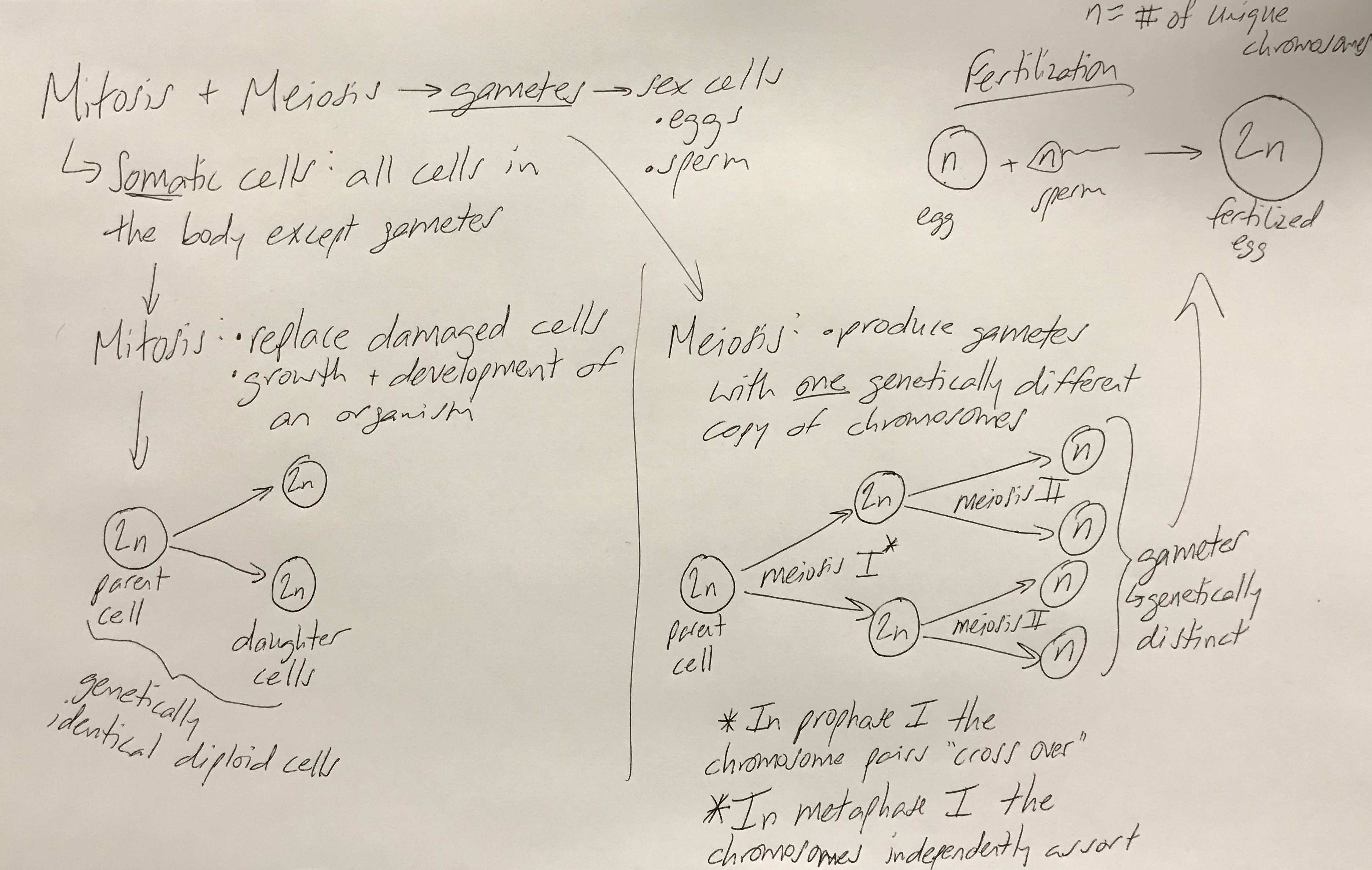 Review Comparing Mitosis And Meiosis