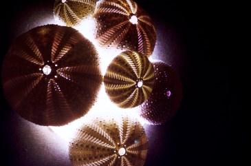 Attu, Alaska - Triton Sea Shells