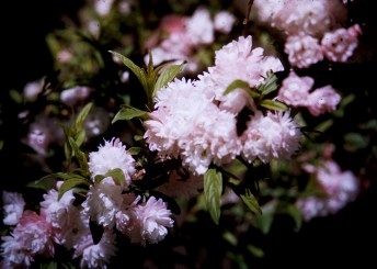 Nature - Flowering Plum